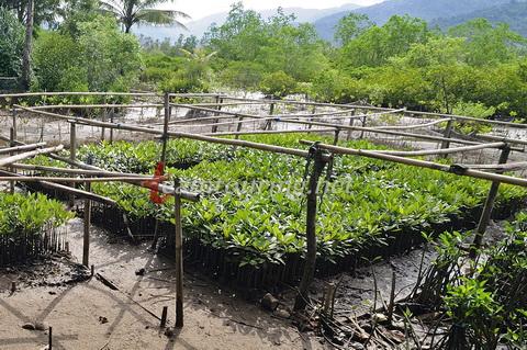 Jembatan Galau Hutan Mangrove Pancer Cengkrong Trenggalek Pembibitan Bakau Kab