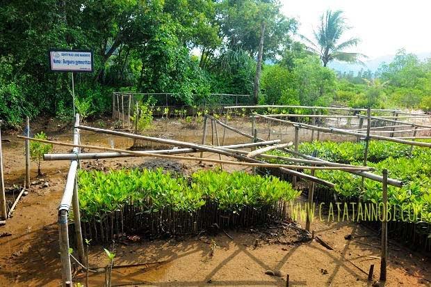 Jembatan Galau Kawasan Hutan Mangrove Pancer Cengkrong Persemaian Mangrovenya Kab