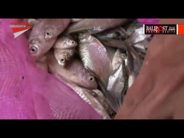 Pemandian Sendang Bektiharjo Tuban Balipost Warga Panen Ikan Mabuk Kab