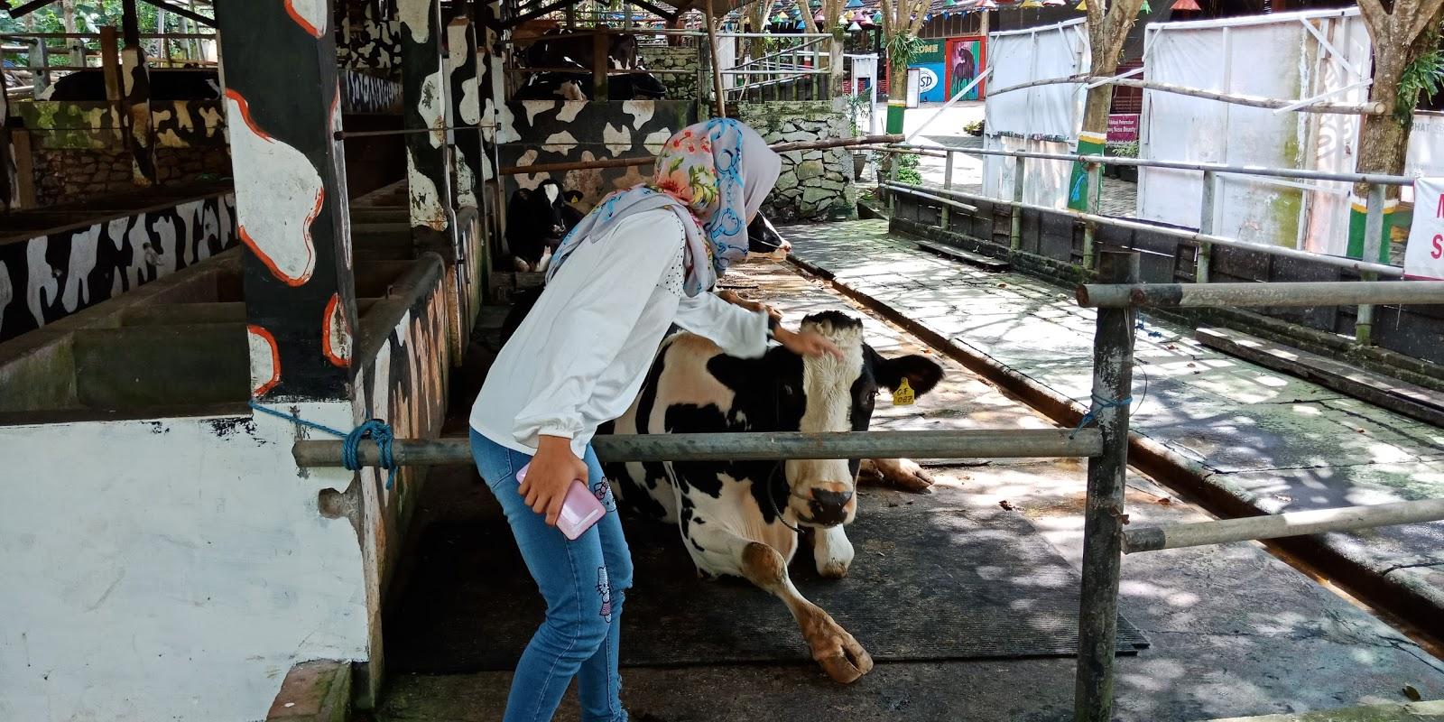 Traveling Kampung Susu Dinasti Ksd Akses Menuju Lokasi Cukup Mudah