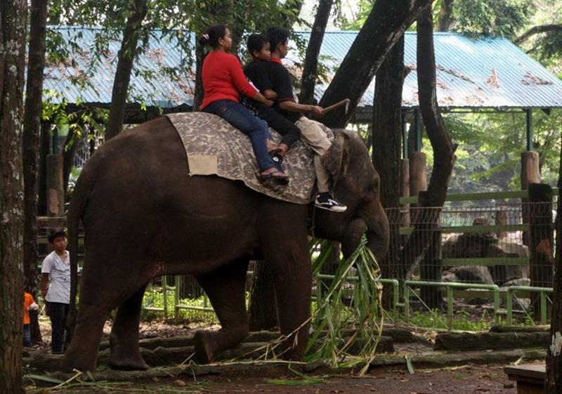 Find Substitution Tag Blog Sulawesi Info Wisata Menunggangi Gajah Kebun