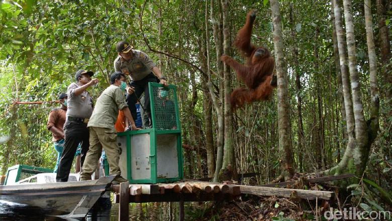 Ekor Orangutan Kapuas Direlokasi Hutan Lindung 25 Taman Tebet Kota