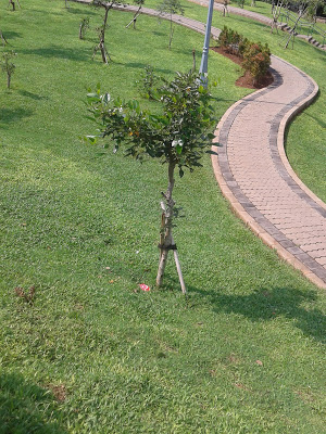Taman Spathodea Oase Tengah Perkotaan World Pohon Tumbuh Kota Administrasi