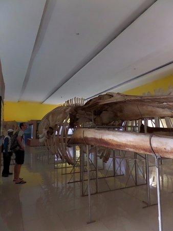 Geraamte Van Een Groot Zeezoogdier Museum Negeri Provinsi Maluku Siwa