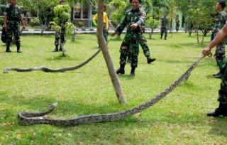 Dua Piton Ditangkap Taman Putroe Phang Serambi Indonesia Kota Banda