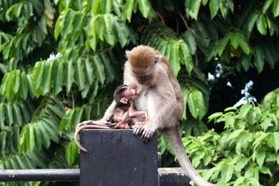 Bercengkerama Kera Hutan Menyusu Taman Wisata Kota Bandar Lampung