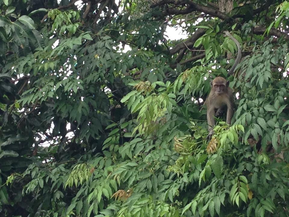 Bertandang Taman Hutan Kera Bandar Lampung Duniaindra Ekor Panjang Ribunnya