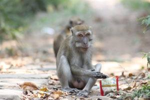 Foto Kera Topeng Monyet Liar Hutan Sama Seekor Memakan Sisa