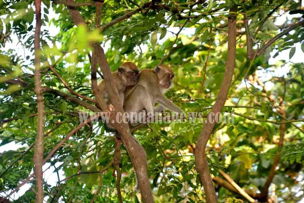 Hutan Wisata Kera Kawasan Ekologi Sekaligus Konservasi Tengah Bisa Dinikmati