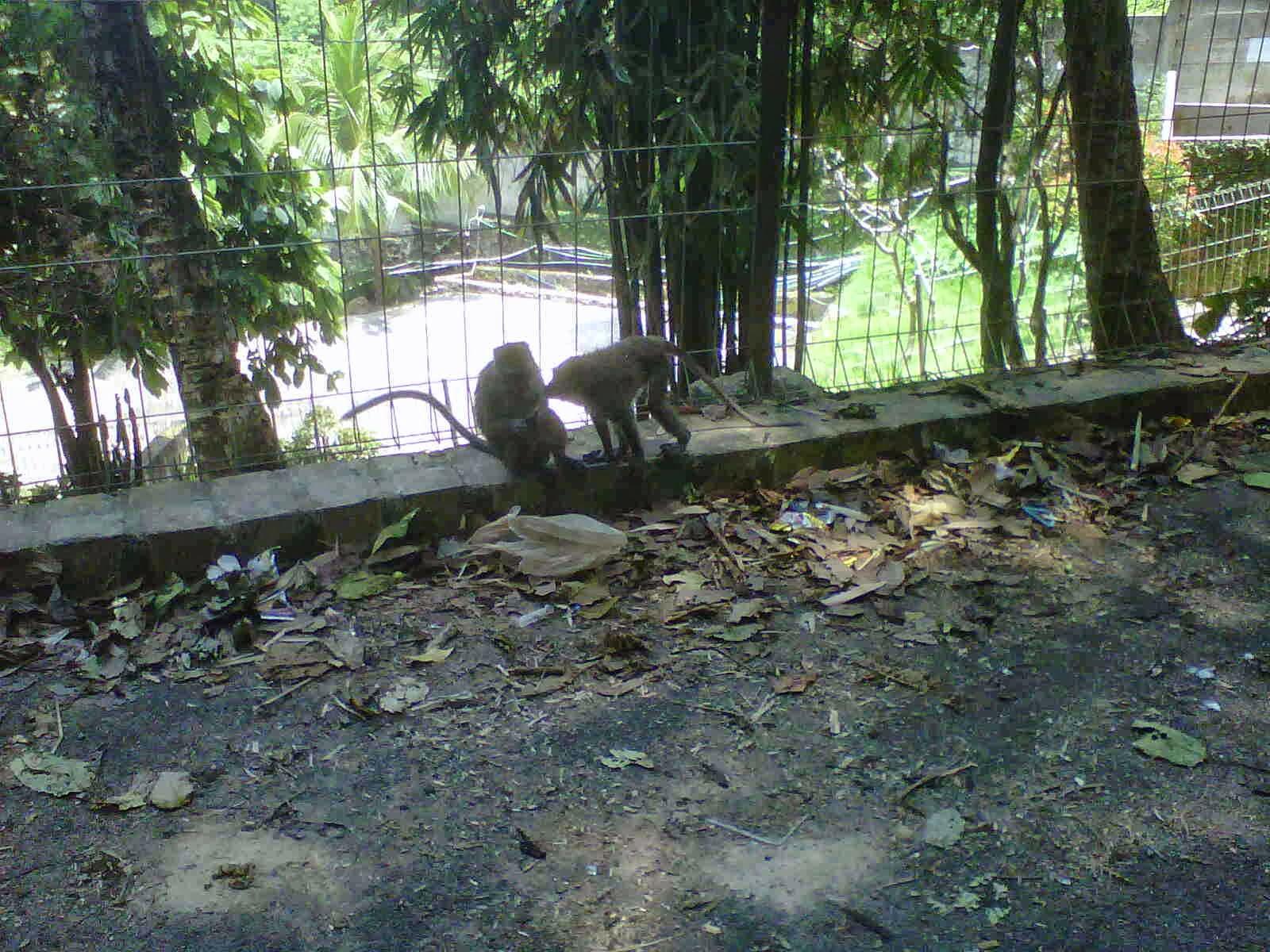 Infobungimor Asal Usul Kera Hutan Taman Sumur Batu Lampung Pengembangan