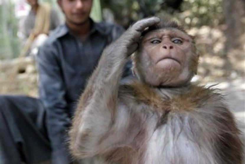 Kawanan Kera Datangi Kantor Pemkot Bandar Lampung Republika Online Ilustrasi
