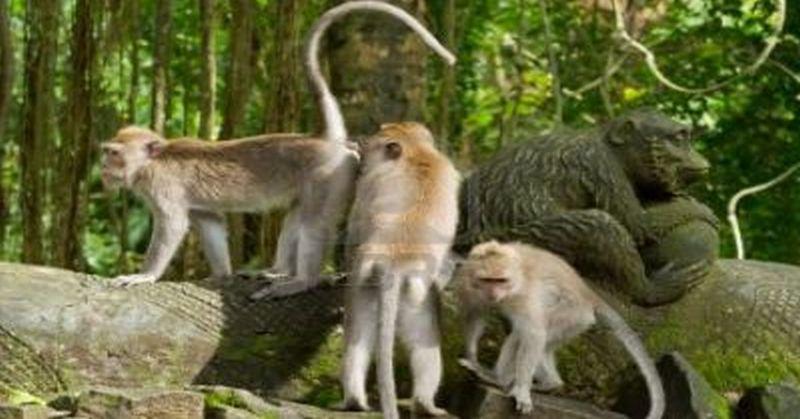 Kawanan Kera Serbu Kantor Pemkot Bandarlampung Okezone News Share Taman