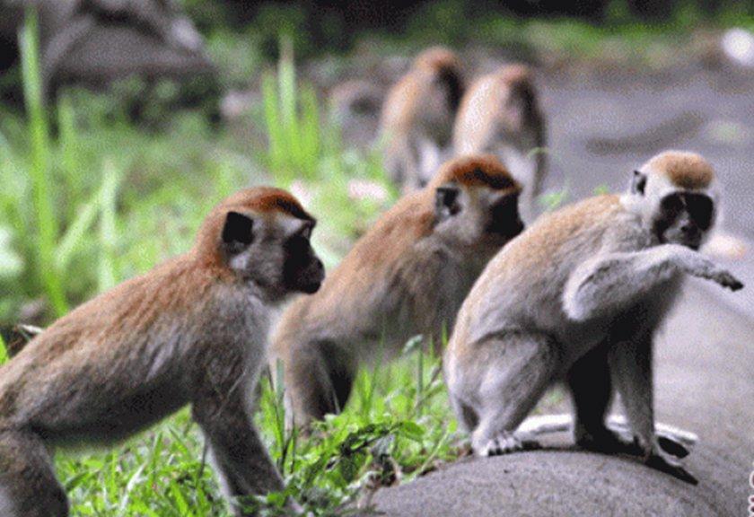 Sampang Kembangkan Hutan Kera News Arah Ilustrasi Foto Istimewa Taman