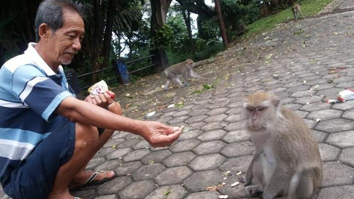 Taman Hutan Kera Tirtosari Lampung Surganya Monyet Liar Tapi Lucu