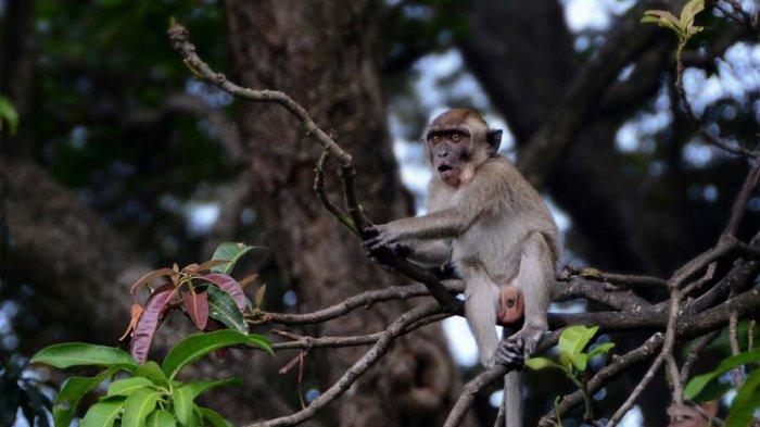 Video Tengok Ratusan Kera Taman Hutan Tirtosari Bandar Lampung Tribun