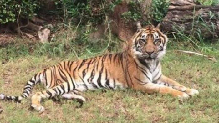 Siswi Tk Diterkam Harimau Biaya Pengobatan Ditanggung Jatim Park 2