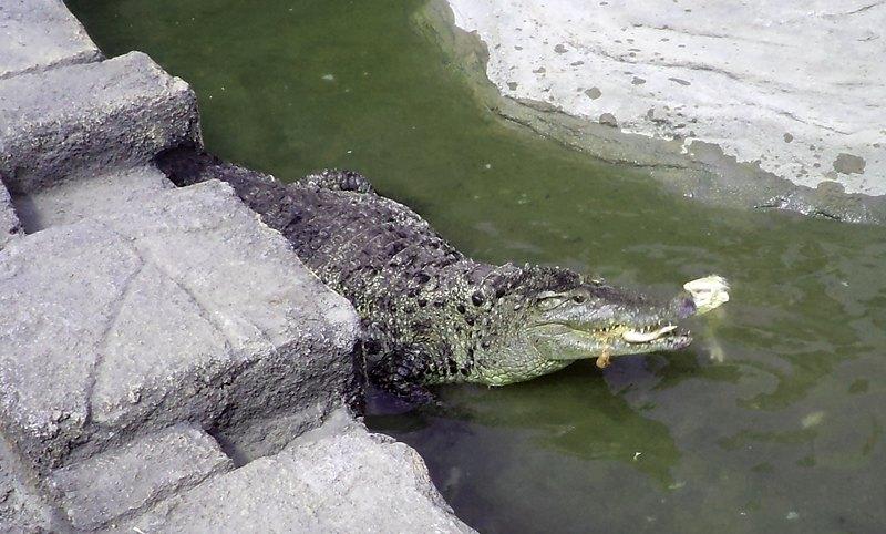 Berita Info Warga Junrejo Khawatirkan Kabar Buaya Lepas Dengar Predator