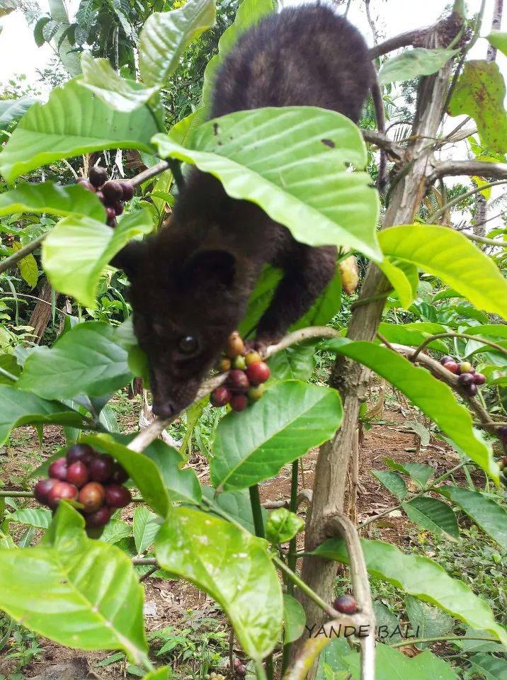 Bali Agrowisata Kopi Luwak Musang Kebun Kota Denpasar