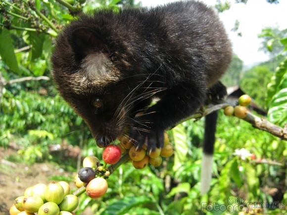 Kopi Luwak Bangli Kesulitan Dapatkan Hewan Bali Net Didapatkan Biji