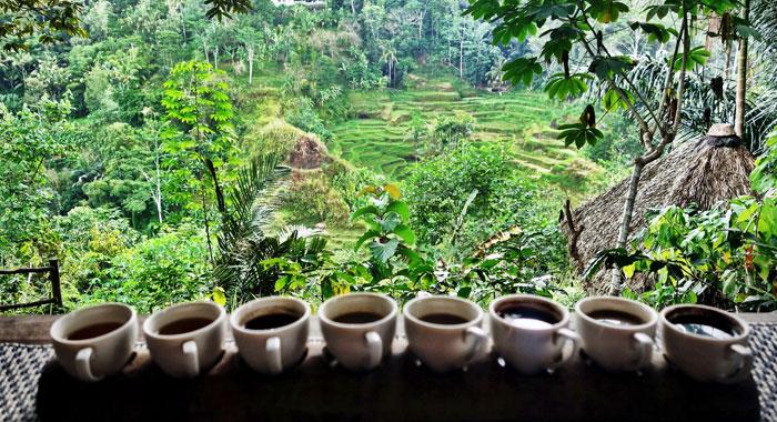 Mengintip Pengolahan Kopi Luwak Bali Pulina Wisata Kuliner Kebun Kota