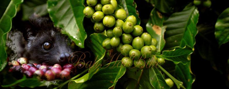 Visit Luwak Coffee Plantation Bali Pulina Hai Bike Tour Itinerary