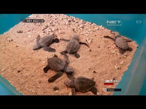 Bali Alternatif Wisata Edukasi Konservasi Penyu Pulau Serangan Kura Kota