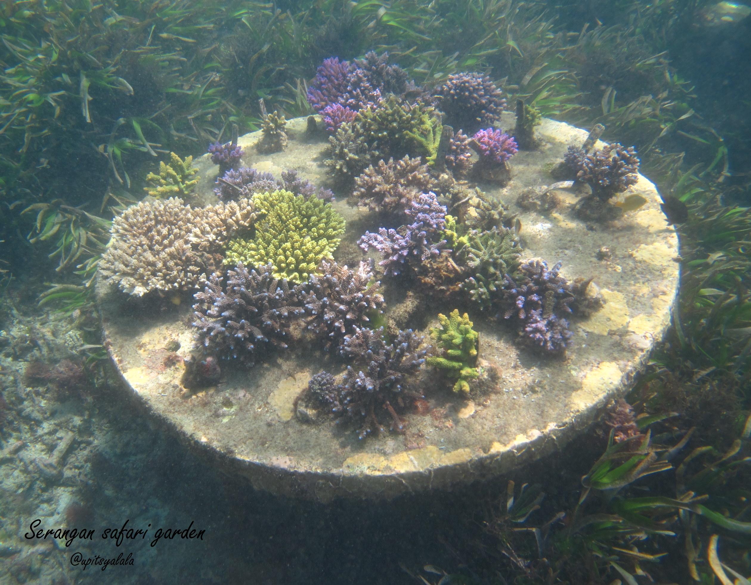 Liburanhijau Petualangan Ekowisata Bahari Pulau Serangan Hasil Transplantasi Karang Zona