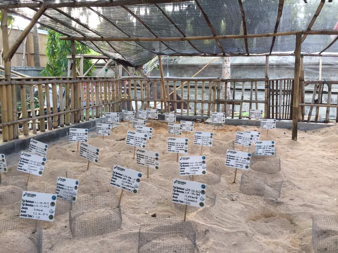 Mendorong Implementasi Rencana Aksi Nasional Konservasi Penyu Sarang Sem Alami