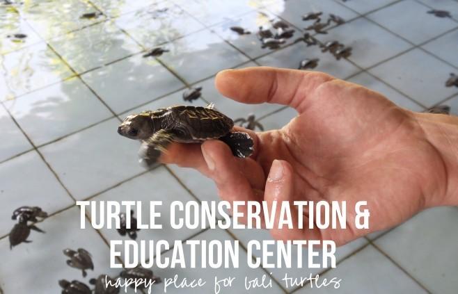 Turtle Conservation Education Center Serangan Bali Kura Turtles 2 Konservasi