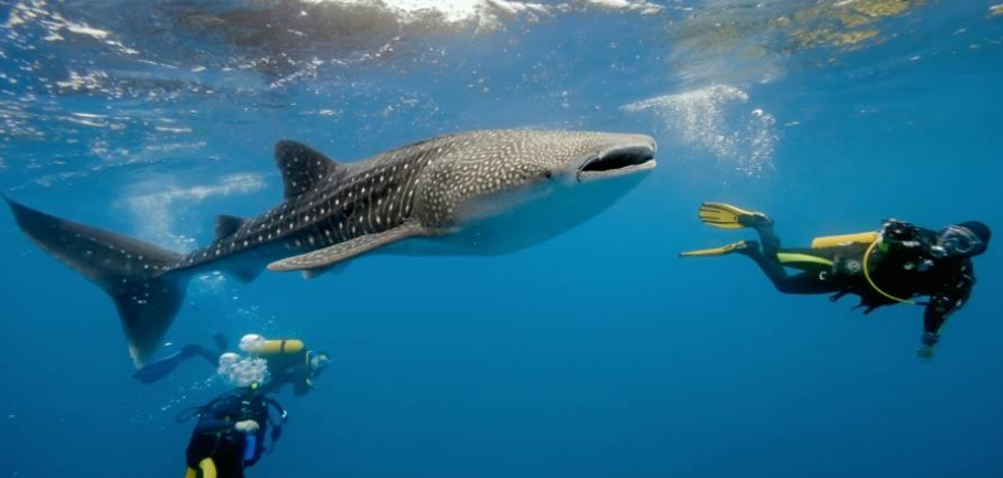 Wisata Air Teluk Cendrawasih Indonesia Explorer Hiu Kota Denpasar