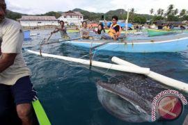 Wisata Berenang Bersama Hiu Paus Teluk Cenderawasih Antara News Ramai