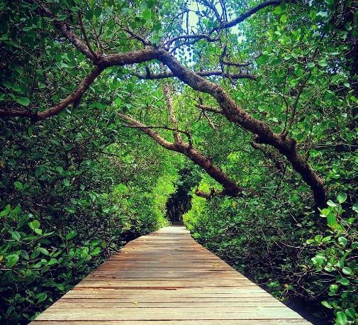 Daya Tarik Objek Wisata Hutan Mangrove Bali Denpasar Keindahan Bakau
