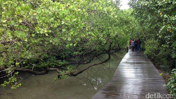 Hutan Mangrove Bali Alternatif Wisata Sarat Edukasi Denpasar Jembatan Kayu