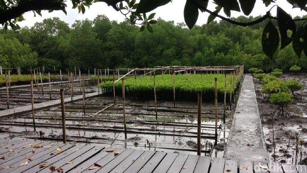 Hutan Mangrove Bali Alternatif Wisata Sarat Edukasi Denpasar Lokasi Pembibitan