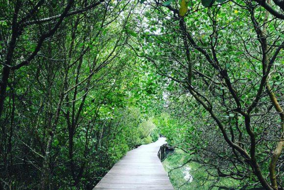 Hutan Mangrove Bali Denpasar Punapi Obyek Wisata Bakau Kota