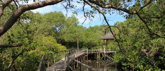 Hutan Mangrove Bali Wisata Bakau Biaya Tiket Masuk 2018 Manfaat