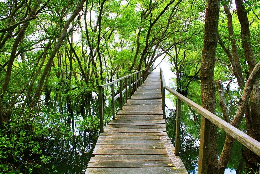 Mangrove Boardwalk Denpasar Wisata Alam Pemandangan 2 Menakjubkan Bali Hutan