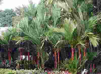 Flora Fauna Khas Provinsi Jambi Alamendah Blog Palem Merah Cyrtostachys