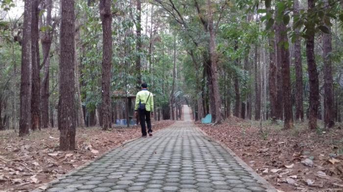 Hutan Pinus Wisata Goceng Area Foto Prewedding Kota Jambi Bali