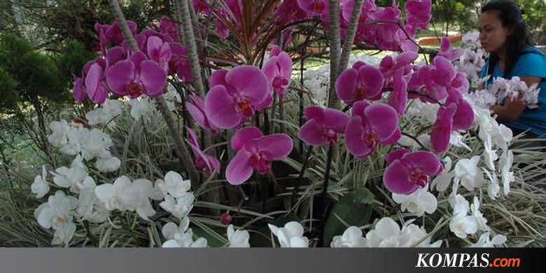Kisah Pemuliaan Anggrek Jambi Kompas Taman Sri Soedewi Kota