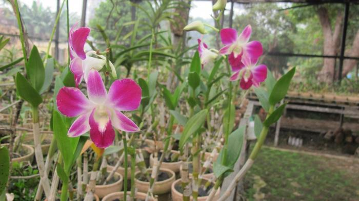 Taman Sri Soedewi Menyimpan Puluhan Anggrek Indah Langka Lokasinya Pusat
