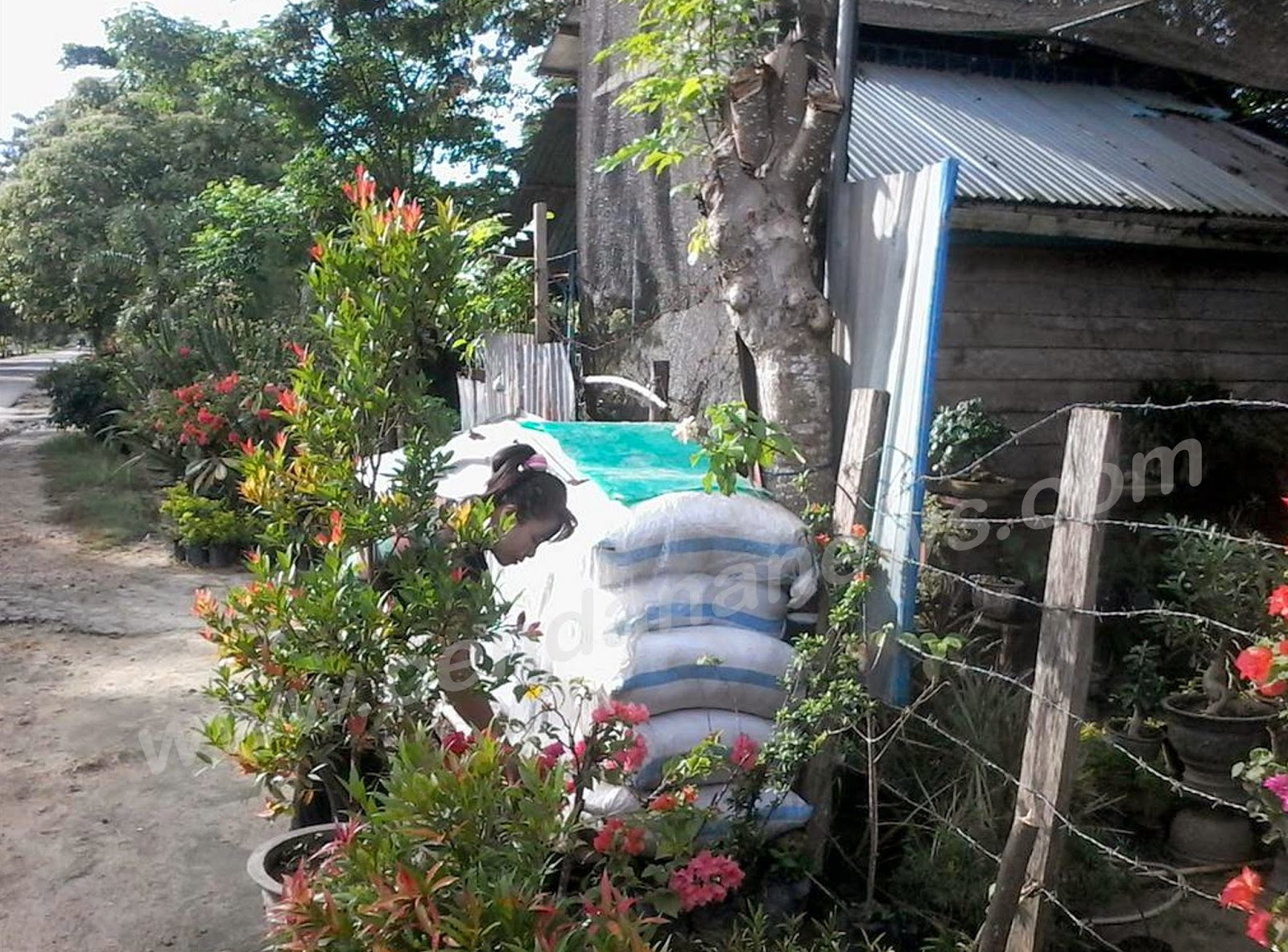 Penyebab Harga Tanaman Hias Kendari Mahal Cendana News Cendananews Sulawesi