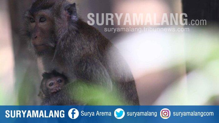 Yuk Lihat Aksi Monyet Menggemaskan Taman Wisata Air Wendit Bayi