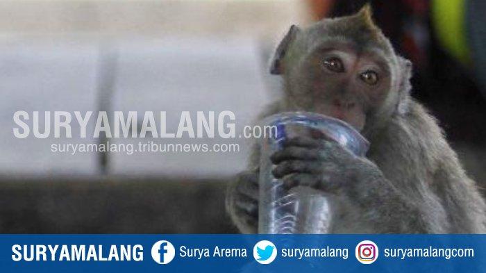 Yuk Lihat Aksi Monyet Menggemaskan Taman Wisata Air Wendit Kabupaten