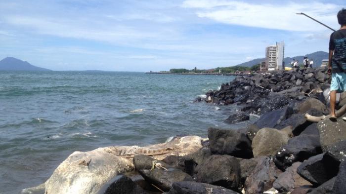 Heboh Bangkai Paus Terdampar Pantai Boulevard Manado Tribun Kawasan Kota