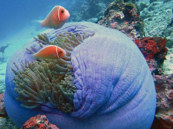 Keindahan Taman Laut Nasional Bunaken Celebes Clown Fish Kota Manado
