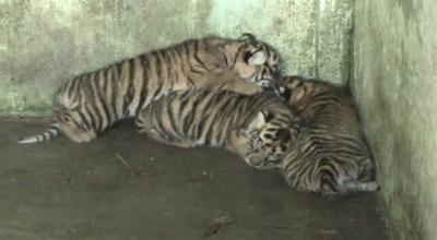 3 Ekor Harimau Sumatera Lahir Kebun Binatang Medan Okezone News