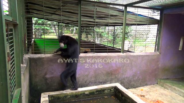 Beruang Madu Sitaan Kebun Binatang Medan Mongabay Id Satwa Bisa