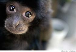 Boy Monyet Primadona Kebun Binatang Medan Tribun Kota