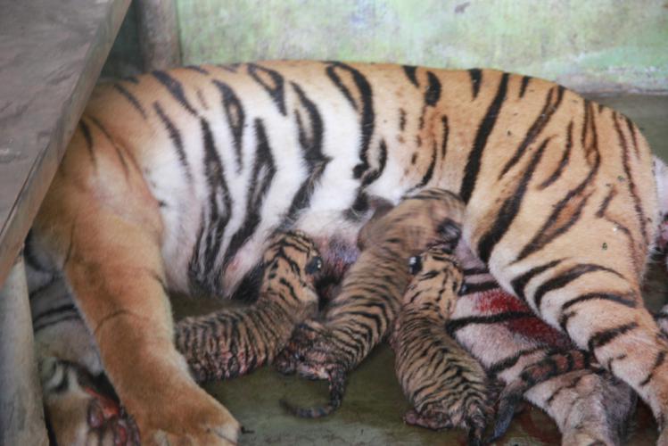 Empat Anak Harimau Sumatera Lahir Kebun Binatang Medan Hariansib Kota